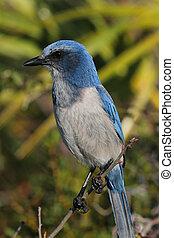 Endangered Florida Scrub-Jay (Aphelocoma coerulescens)
