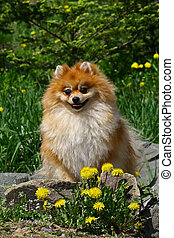 The Pomeranian often known as a Pom is a breed of dog of the...
