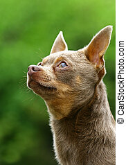 The Chihuahua is the smallest breed of dog and is named after the state of Chihuahua in Mexico.