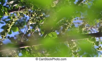 Spring elm tree branches with seeds footage