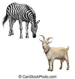 zebra bent down eating grass, Goat standing up isolated on a...