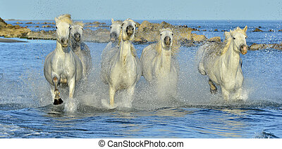 Running White Horses of Camargue. - White horses of Camargue...
