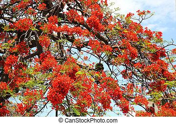 Flamboyant Cuba - the tree Royal Poinciana or Flamboyant,...