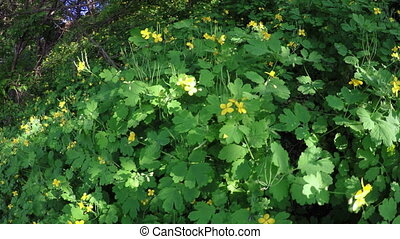 Celandine thickets - Violent flowering bushes in May...