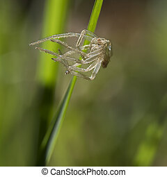 Discarded spider exoskeleton on blade of grass. Unwanted...