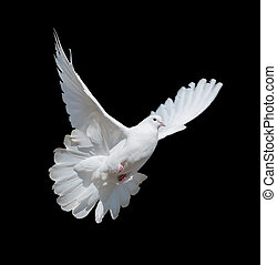 White dove - Flying white dove isolated on a black...