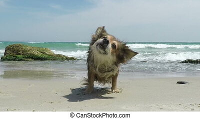 Dog Shakes off Water - Red Dog Shakes off Water on a Sandy...