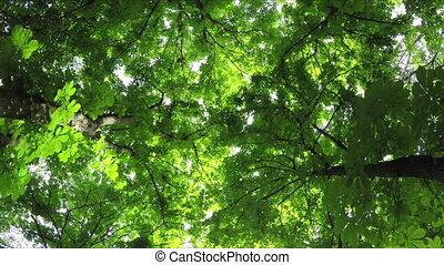 Summer Deciduous Forest Rotates View from Below