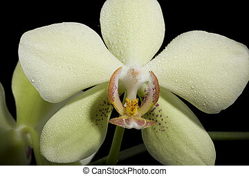 Phalaenopsis Orchid - yellow beautiful orchid isolated on...