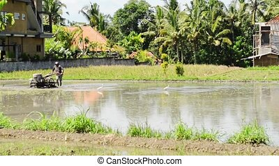 Rice paddy cultivation - Peasant working on rice paddy with...