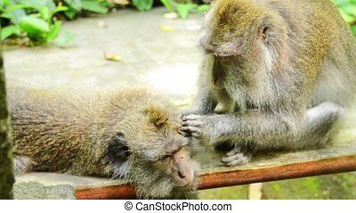 Two macaques grooming at Ubud Monkey Forest Bali Indonesia