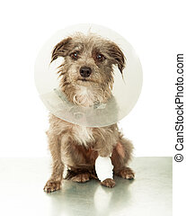 Injured Small Dog Wearing Cone on Vet Table - A cute little...