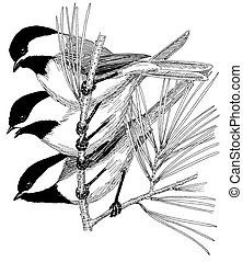Black-capped Chickadees on pine Poecile atricapillus