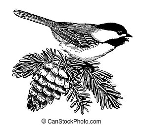 Black-capped Chickadee on spruce Poecile atricapillus