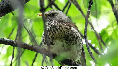 Fieldfare, Turdus pilaris is sitting on a branch