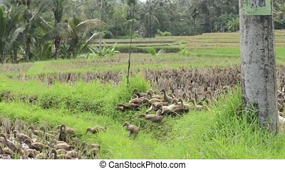 Bali ducks on rice fields near Ubud area