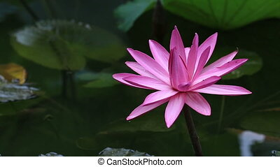 beautiful blooming lotus flower in pond