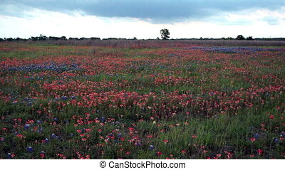 Texas Blue Bonnet Wildflowers Blow Shake Rural Countryside -...