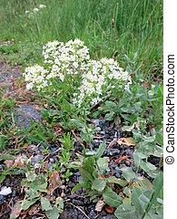 Hoary Cress Lepidium draba or Cardaria draba