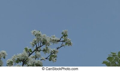 Flowers of apple trees against the sky