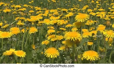 Dandelion flowers - Yellow dandelion flowers