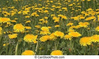 Dandelion flowers - Yellow dandelion flowers