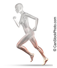 3D female medical figure with partial muscle map jogging