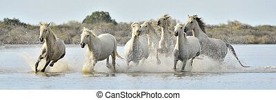 Running White horses through water - White horses of...