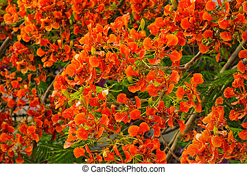 Flamboyant or Delonix Regia in a tropical garden