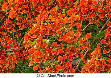 Flamboyant or Delonix Regia in a tropical garden