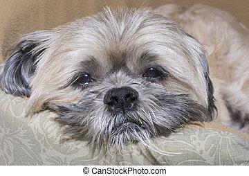 Sad sleepy Lhasa Apso dog - Closeup of mature Lhasa Apso dog...