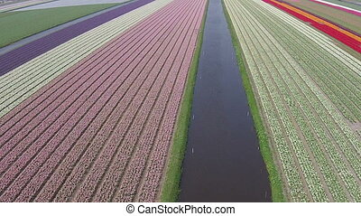 Aerial from tulips in Netherlands - Aerial from tulip fields...