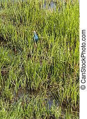 Purple Swamphen (Porphyrio porphyrio) in tropical swam.