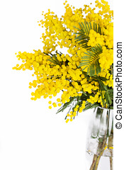 Mimosa brunches in vase on white background