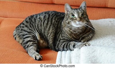 Funny fat cat - Funny fat lazy cat plays as he relaxes on a...