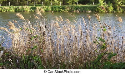 Closeup reed near the river, forest, outdoor