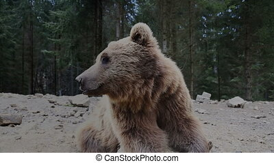 Brown bear in Carpathian mountains, Ukraine