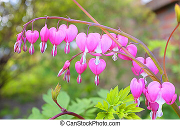 Bleeding heart - Close up of a bleeding heart flower in...