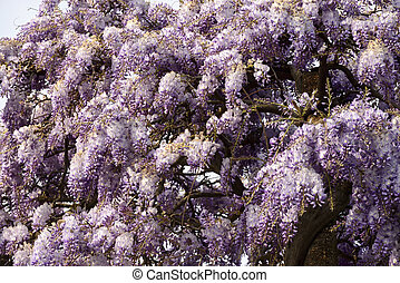 blossoming wisteria #1, Lerici - detail of beautiful flowers...