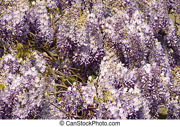 blossoming wisteria 2, Lerici - detail of beautiful flowers...