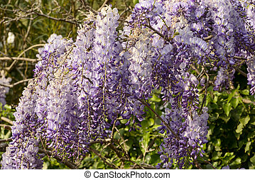 blossoming wisteria #3, Lerici - detail of beautiful flowers...