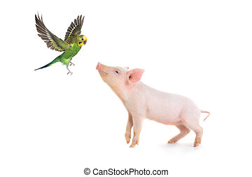 pig and budgie on a white background. studio