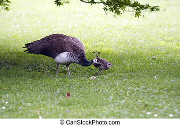 Peahen With Chicken - Shot of the peahen with chicken on the...