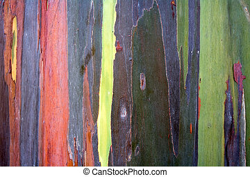 Colorful pattern of rainbow eucalyptus tree bark as a...
