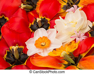 Spring bouquet of daffodils and tulips - Red tulips with...