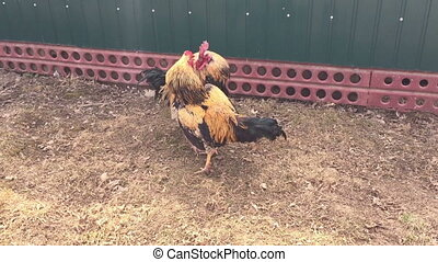 Fight of two beautiful cocks together