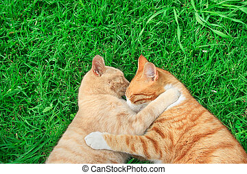 Hugging cats - Hugging tawny and red cats on green grass.