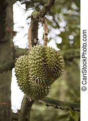 Durian fruit on the tree inThailand