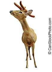 Yung deer isolated on white - Christmas talisman. Yung deer...