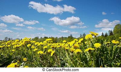 Glade of dandelions on springtime - Slider shot of glade of...